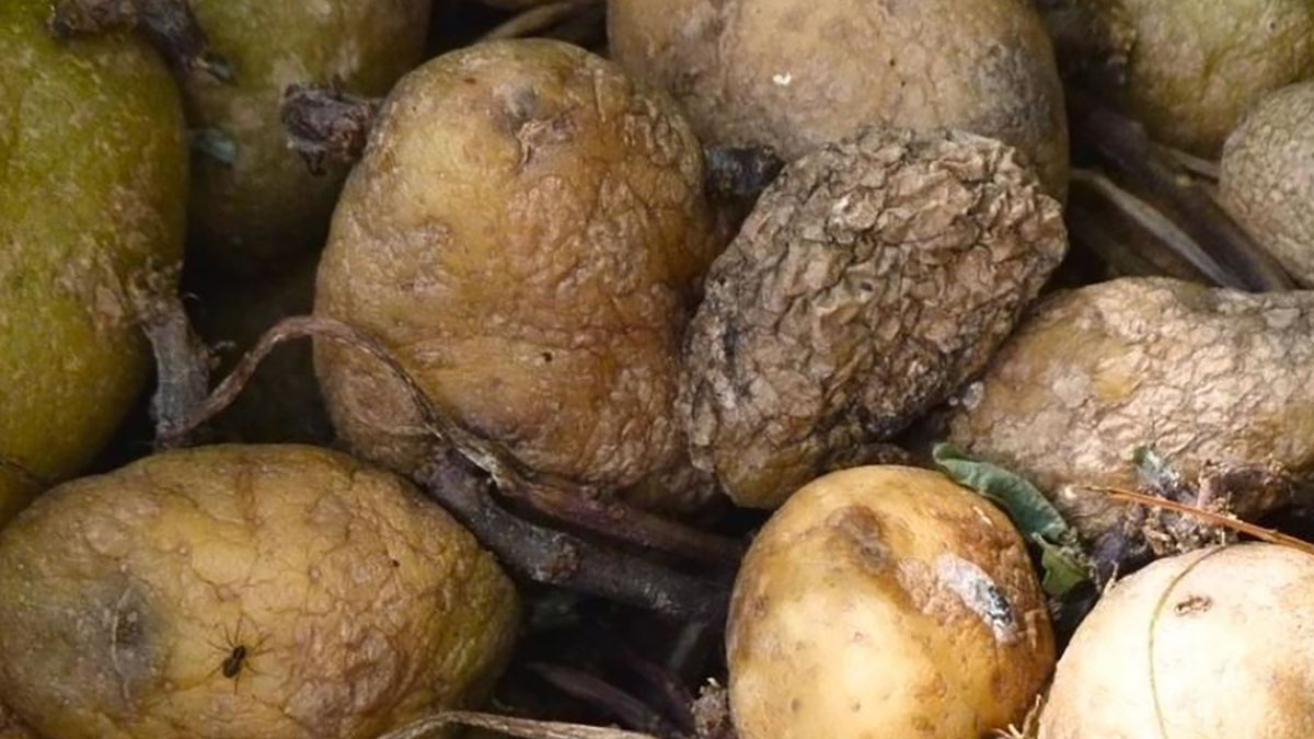 Ugly Potatoes Find New Life in Vodka